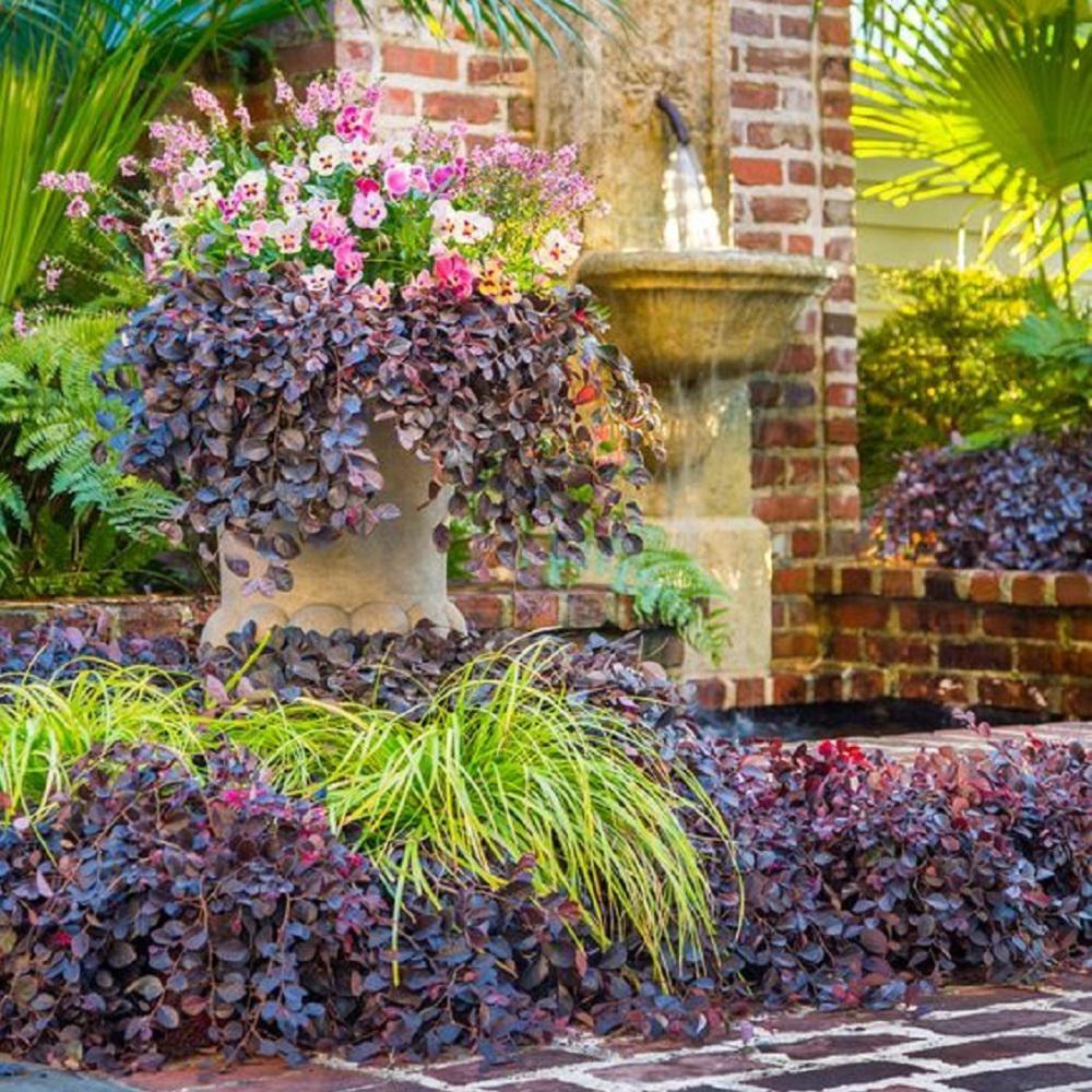 Loropetalum Topiary Tree Topsimages