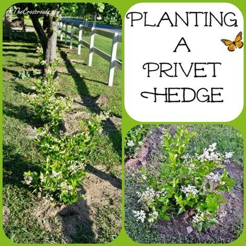 Planting A Privet Hedge Cottage At The Crossroads Hedges
