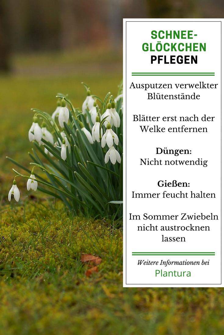 Schneeglockchen Pflanzen Tipps Vom Experten Gartenfreunde