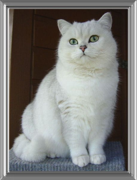 Silvercloud British Tipped With Stunning Green Eyes And Black