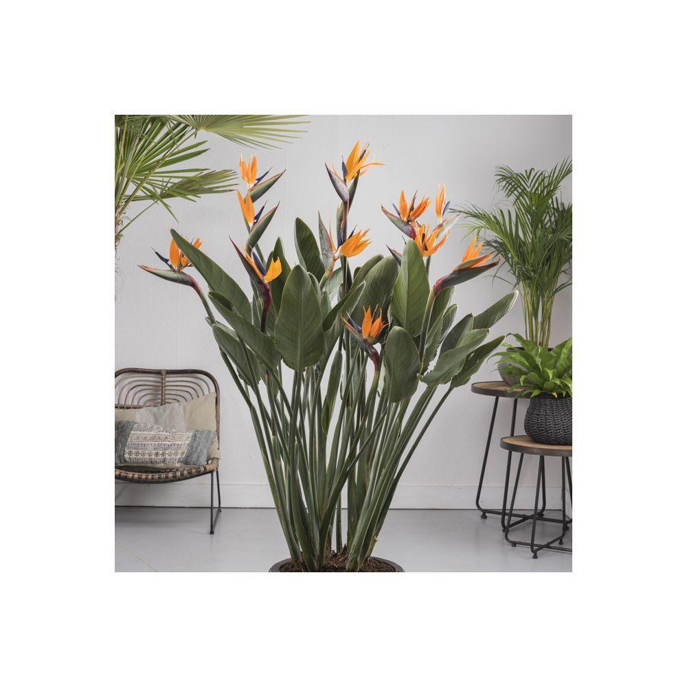 Oiseau Du Paradis Strelizia Non Fleuri Interior Plants Plants Flower Garden