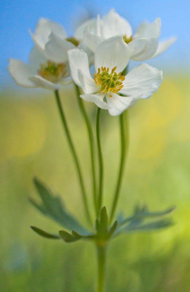 Alpenblumen von Netzer Johannes