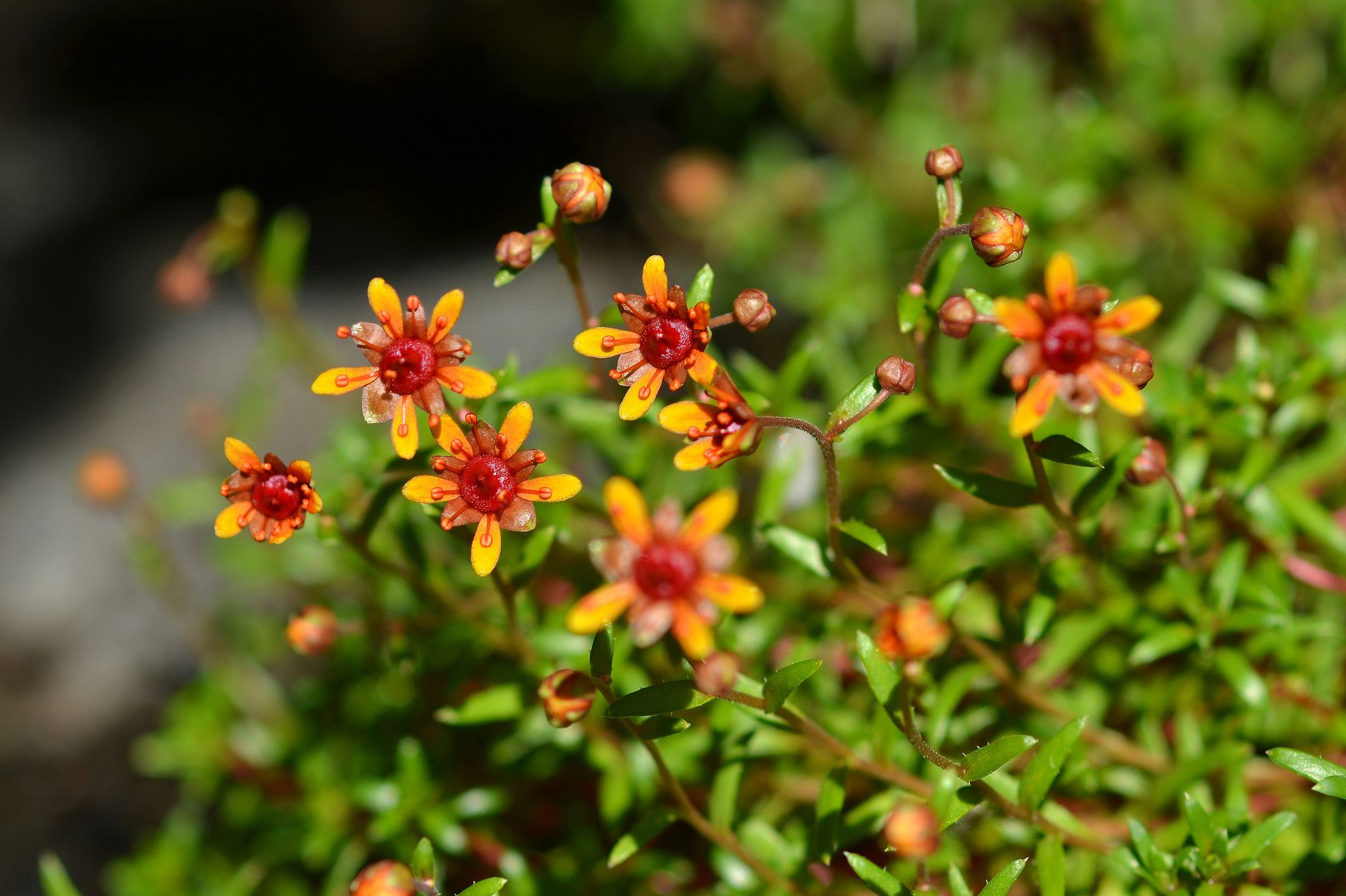Yellow Mountain Saxifrage Saxifraga Aizoides Flowers Pinterest