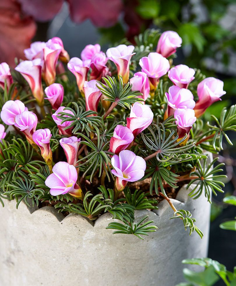 Oxalis Wood Sorrel Autumn Pink Flower Bulbs From Bakker