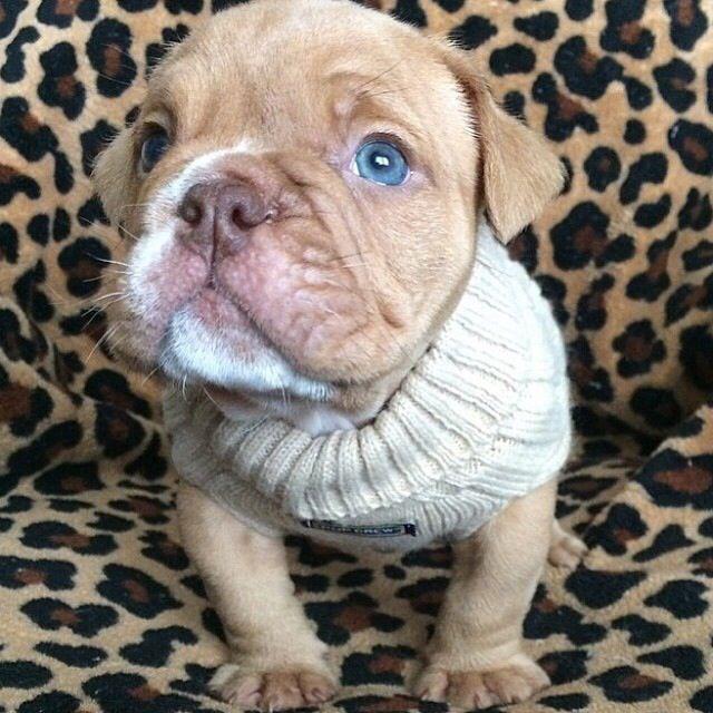#perrito #ojosazules