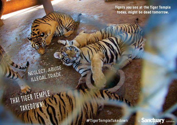 "Sanctuary Asia on Twitter: ""Neglect. Abuse. Illegal trade? Tigers deserve better. Join us in the #TigerTempleTakedown ! https://t.co/ItjUz821Wf https://t.co/QGbzhFEGs3"""