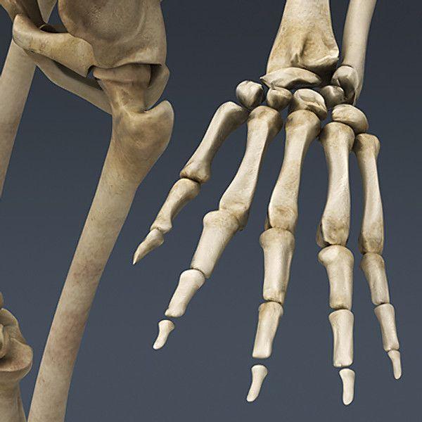 human skeleton - nose anatomy 3d model | day of the dead | Pinterest ...