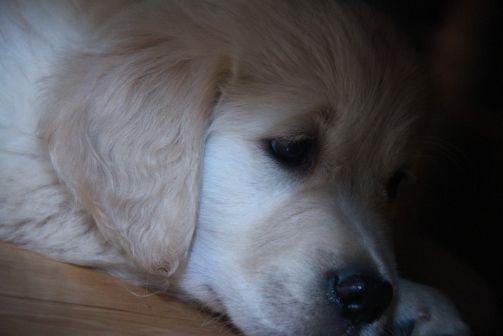 Www Councilhousegoldens Com Council House Puppies Cute Animals