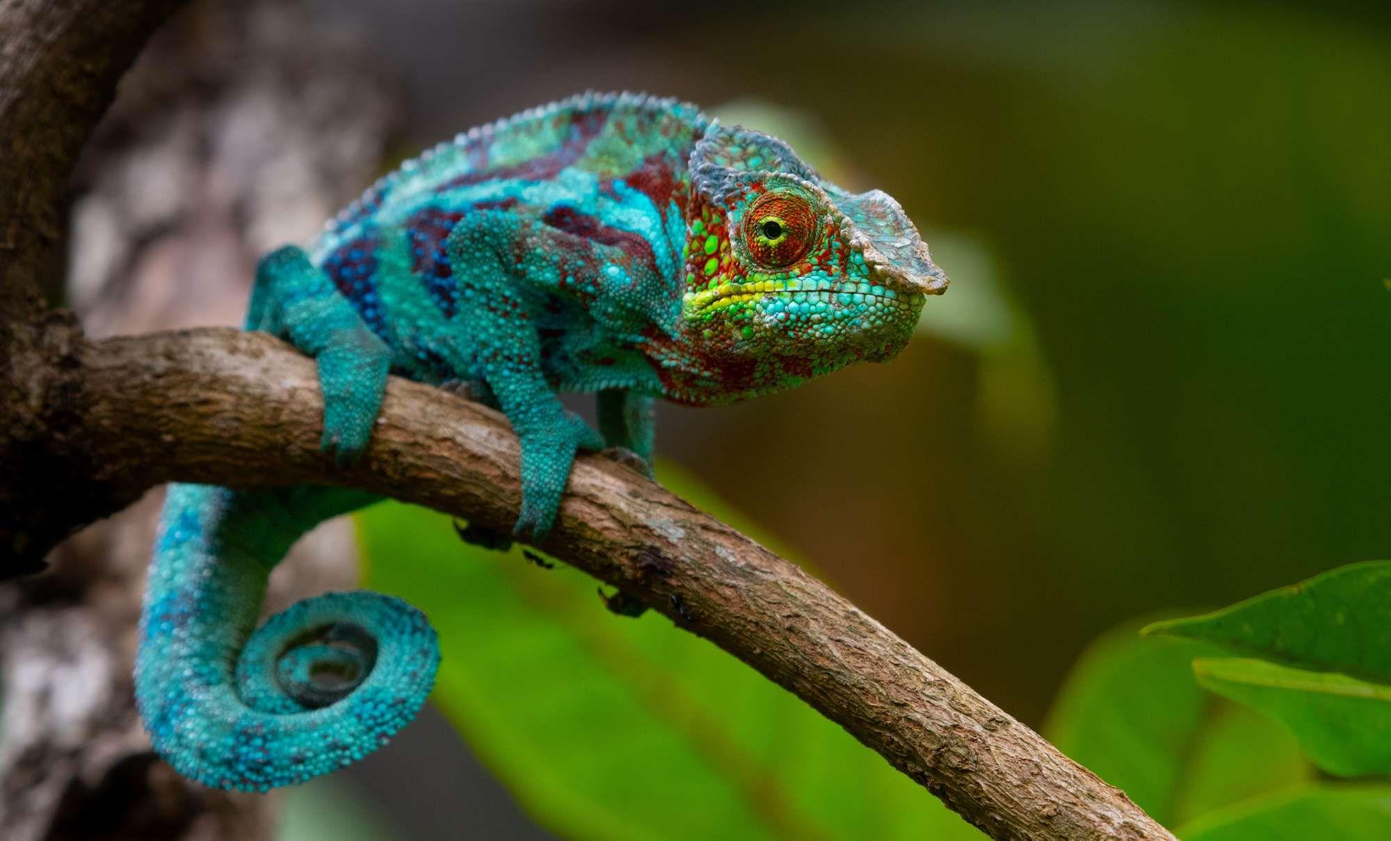 Chameleon Changing Color Google Search Chameleon Color Chameleon