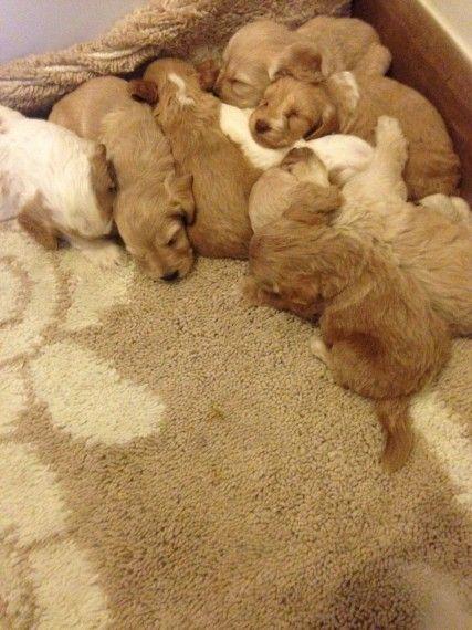 Sweet adorable cockapoo puppies Rochester, Kent