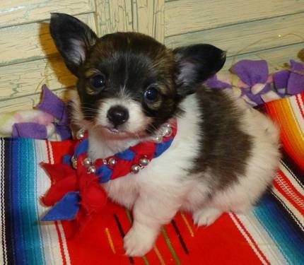 Papillon Chihuahua Chions Babies See My New Chion Pics As Of 03 04 13 Chihuahua Mix Puppies Baby Corgi Chihuahua