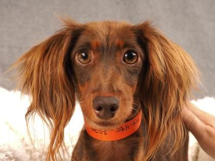 Adopt Latte A Lovely 3 Years 11 Months Dog Available For Adoption