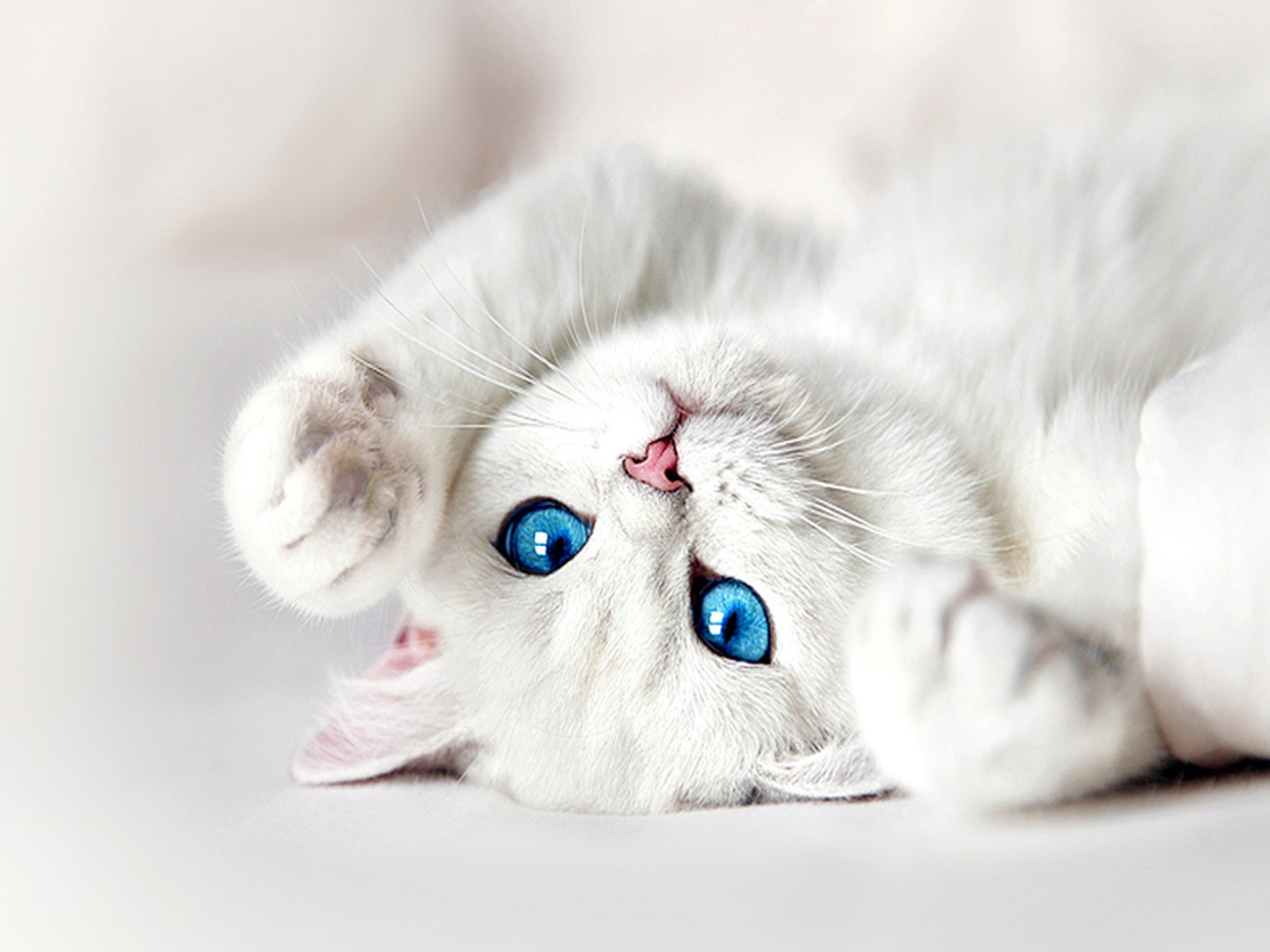 White Kitten With Blue Eyes Wallpaper Kocicka