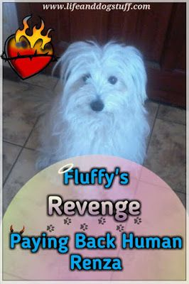 Check out Fluffys Revenge - Paying Back Mommy Renza blog post on Life and dog stuff!