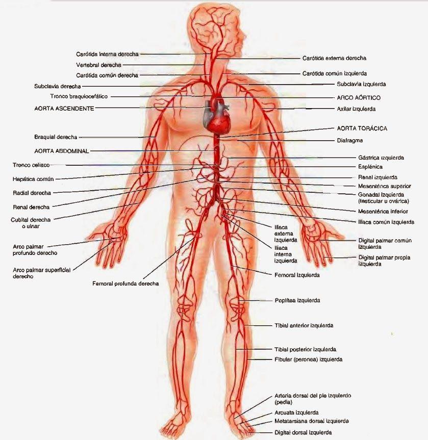 Principales Arterias Del Cuerpo Jpg 839 863 Pixeles Arterias Del Cuerpo Sistema Circulatorio Sistemas Del Cuerpo Humano