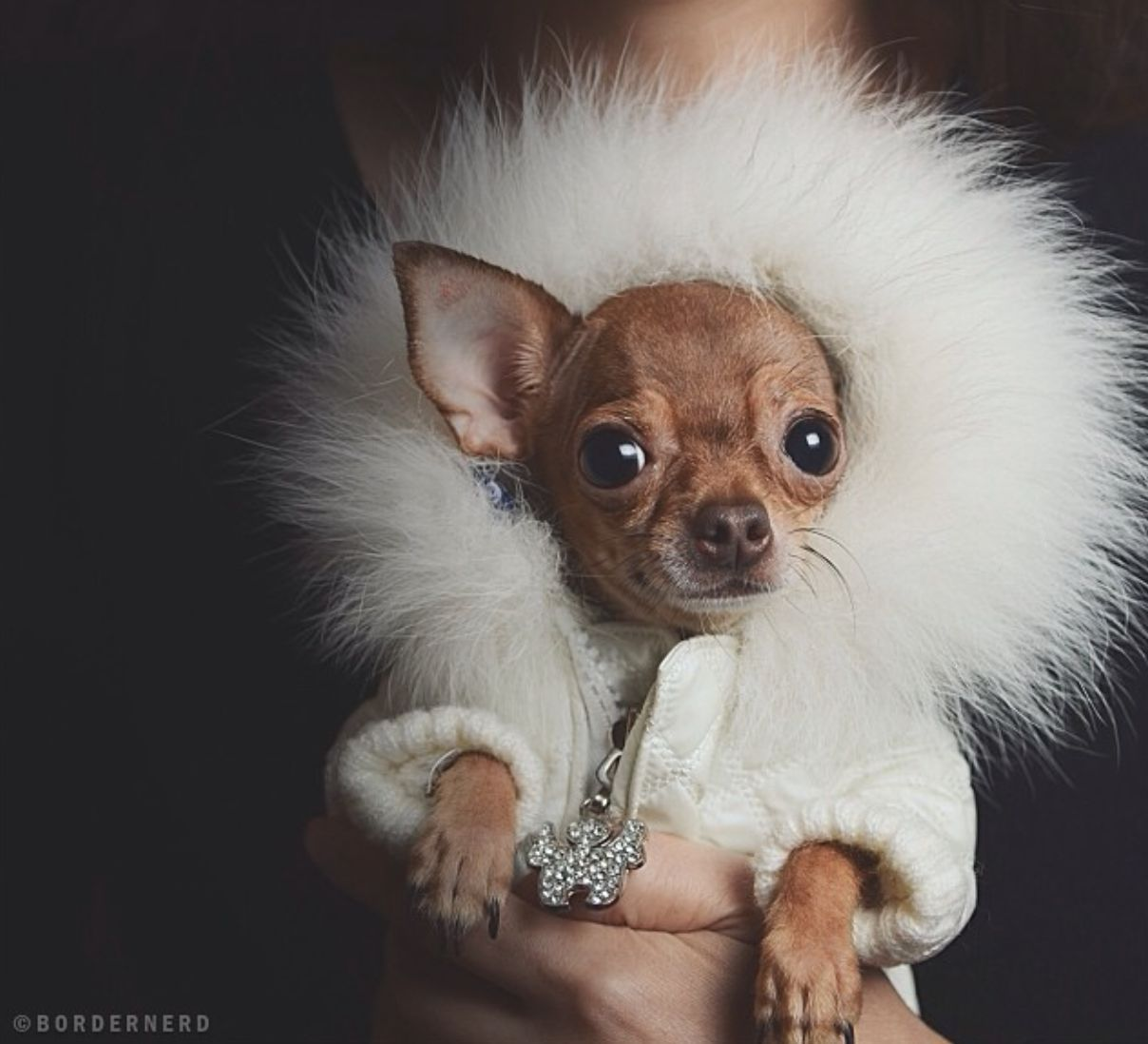 Posh Pup Cute Chihuahua Cute Animals Chihuahua Dogs