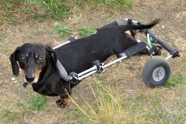 Nose Cell Transplant To Spinal Cord Injury Helps Paralyzed Dog