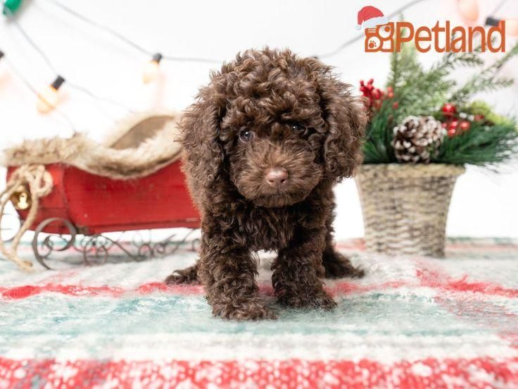 #poodle  #puppy  #doglover  #adorable  #dog  #cute  #pet  #dogoftheday  #photooftheday  #puppylove  #puppies  #puppyoftheday #life #sweeter The journey of life is sweeter with a Poodle. Check out all our available puppies!