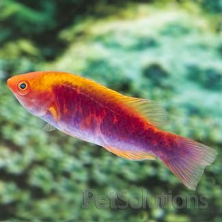 Tricolor Fairy Wrasse Saltwater Aquarium Fish Aquarium Fish Fish Pet