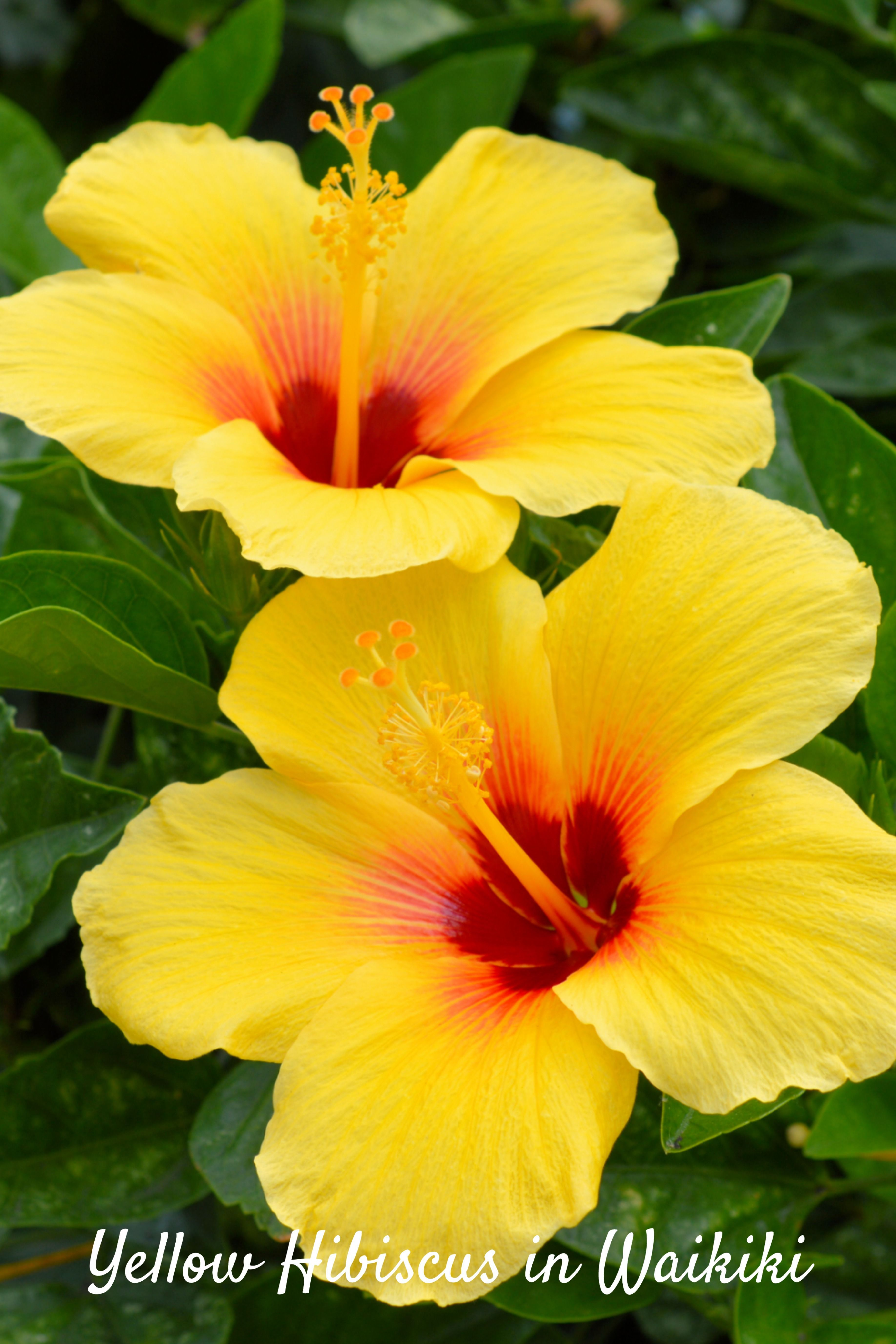 Multiple Varieties And Colors Of Hibiscus Flowers Grow Throughout The Hawaiian Islands You Ll See These Yellow In 2020 Hibiscus Plant Yellow Hibiscus Hibiscus Flowers