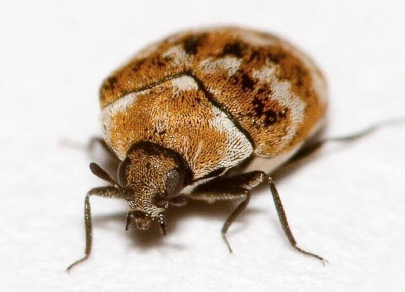 Get Rid Of Carpet Beetles Silver Grey Carpet Buying Carpet Beetle