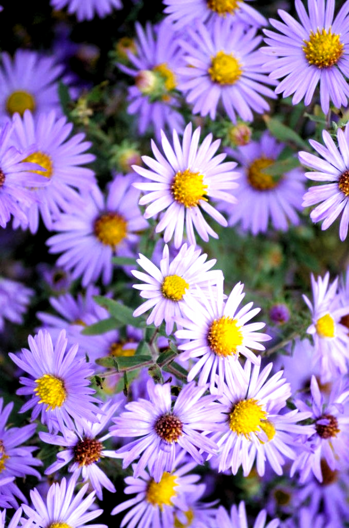 Aromatic Aster Is One Of The Last Aster Species To Bloom In The Fall The Stiff Stems Will Branch Out Slowly To Create In 2020 Light Purple Flowers Light Purple Wallpaper