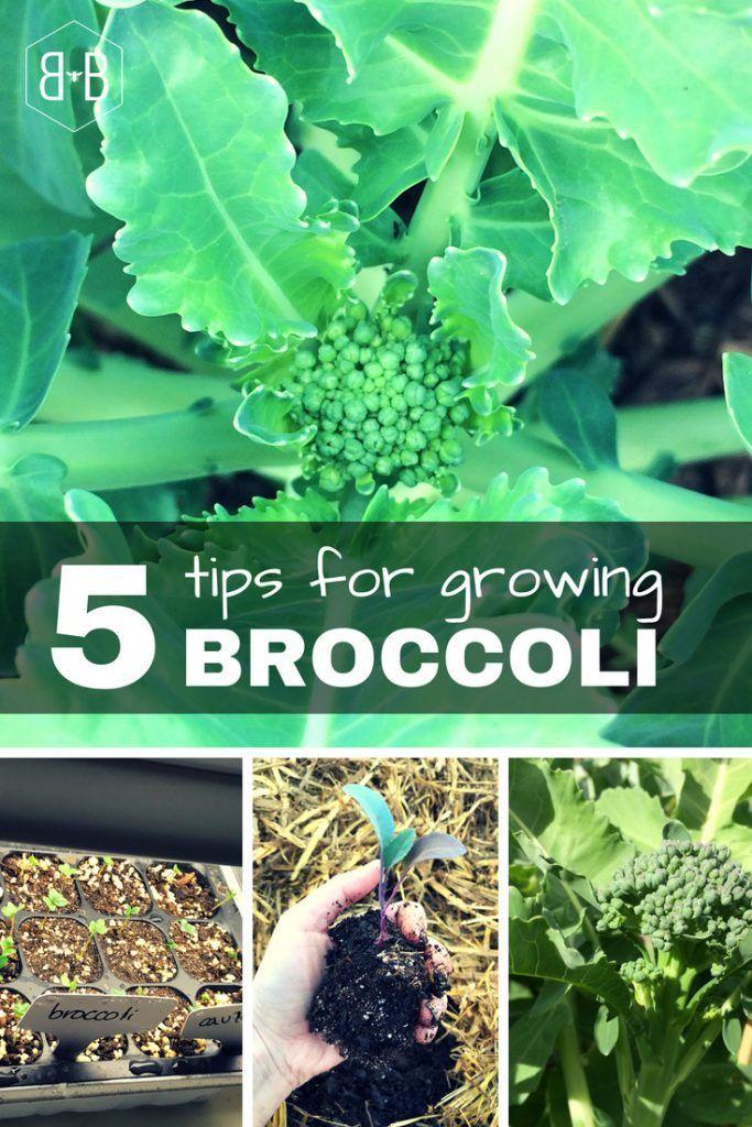 5 Tips on How to Grow Broccoli • Bee and Basil   Growing ...