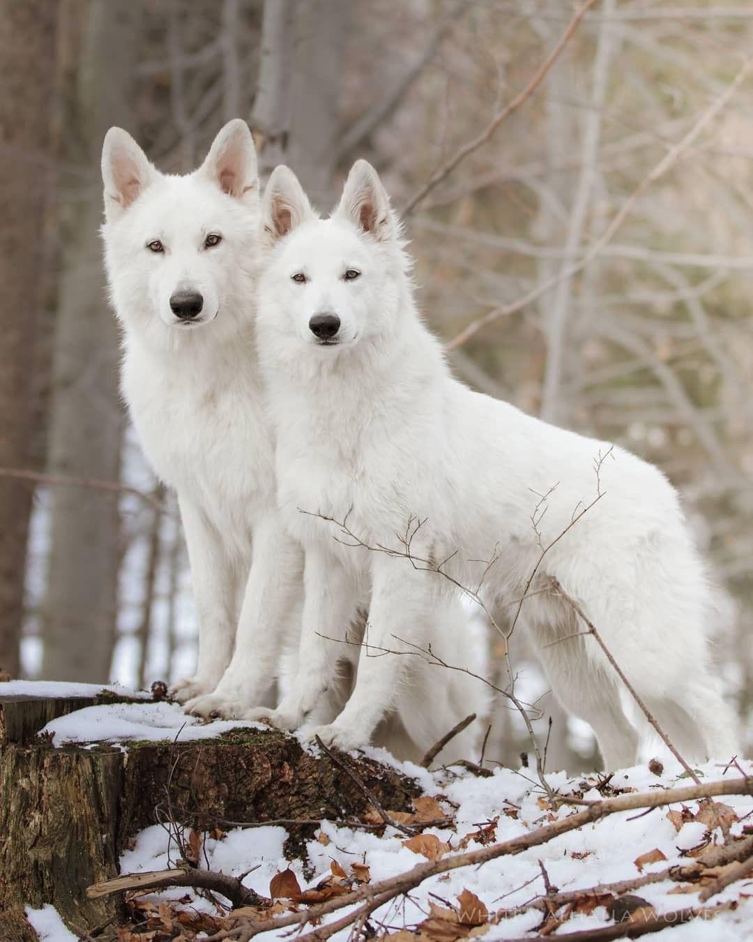 Fenris Bjorn Two Beautiful White Swiss Shepherd