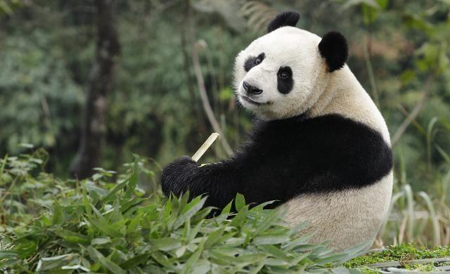 Opening of Giant Panda Forest | Singapore Stuff Singapore Zoo | I-S Magazine Online