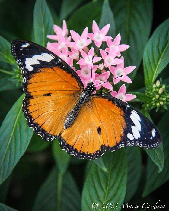 Plain Tiger Butterfly (Danaus chrysippus) India, Southeast Asia
