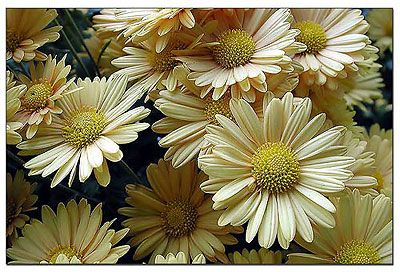 Yellow Daisy Mums Picture Daisy Mums Flowers Pictures