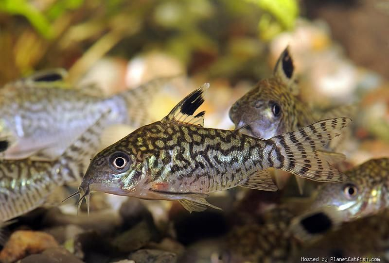 Corydoras reticulatus sa bottom feeder soft acidic for Bottom feeders fish