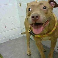 Atlanta Georgia American Pit Bull Terrier Meet Amy A For
