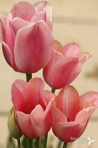 Candy Kisses Tulips - Multi-Flowering Tulip