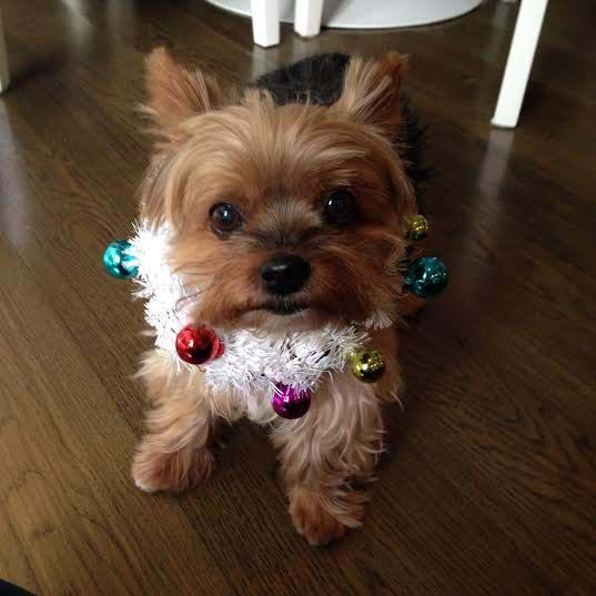Wreath turned dog collar? My little ball of love Chloe!