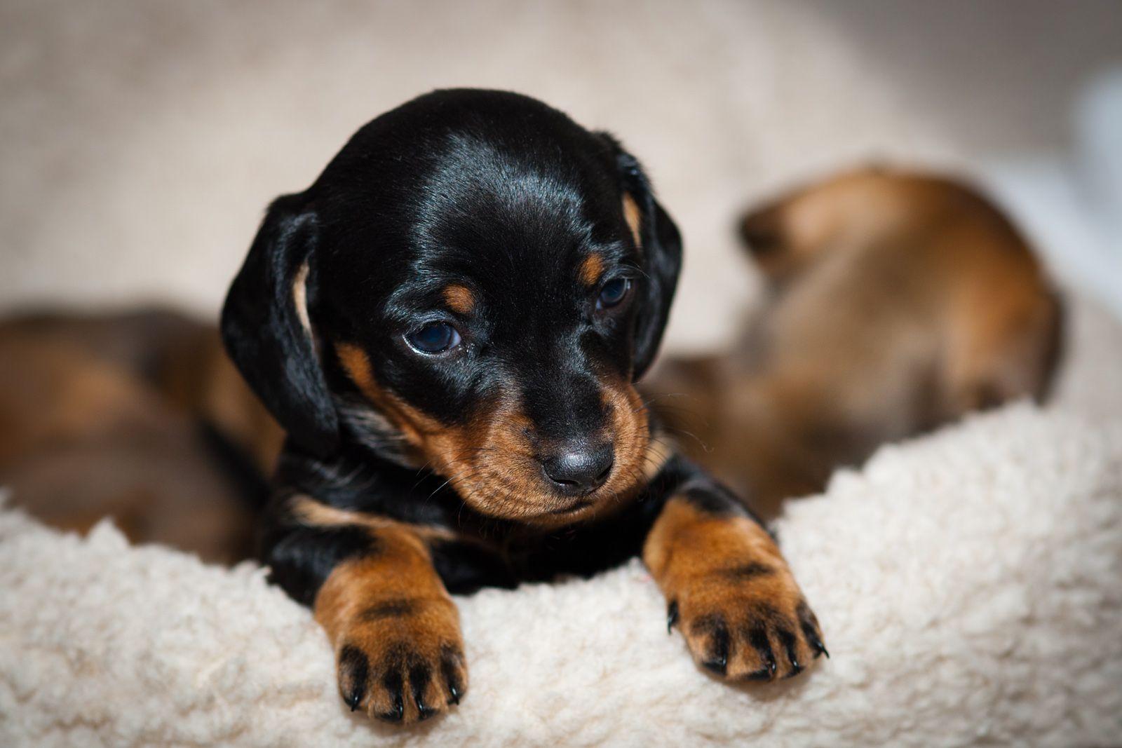 Cute Mini Dachshund Puppies Black And Tan Dachshund Dachshund Puppy