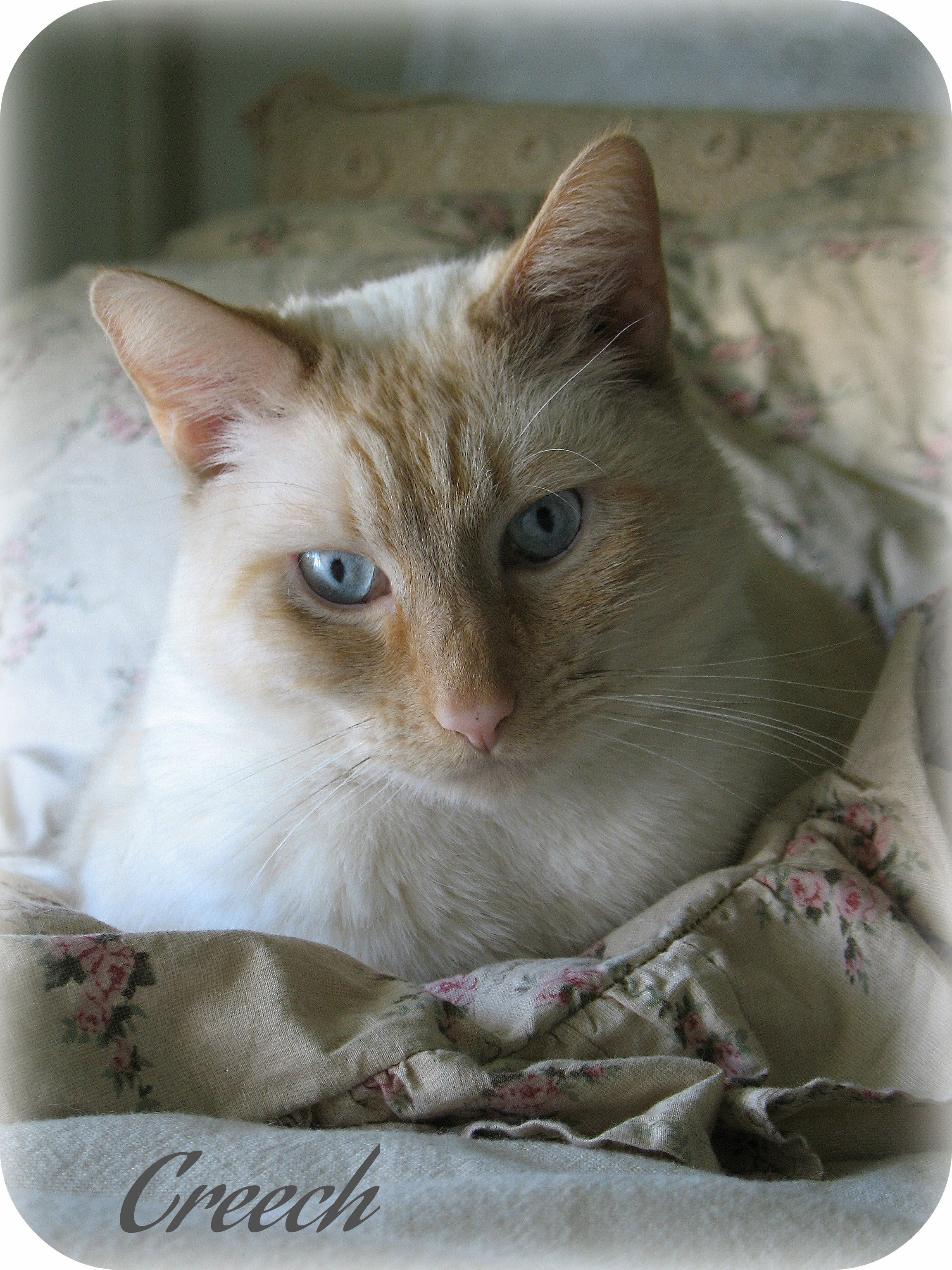 Our Flame Point Siamese cat....Creech. Cats and kittens