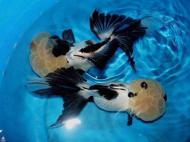 Orandas From China Oranda Goldfish Goldfish Species Goldfish