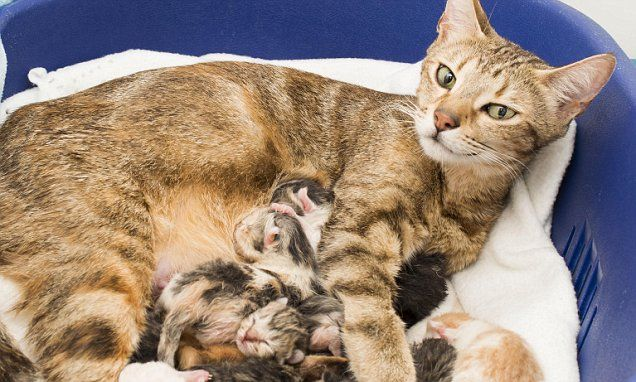 She S Going To Have Her Paws Full Rescued Tabby Cat Gives Birth To An Amazing Eleven Kittens Just Days Before Christmas Cat Having Kittens Mama Cat Baby Kittens