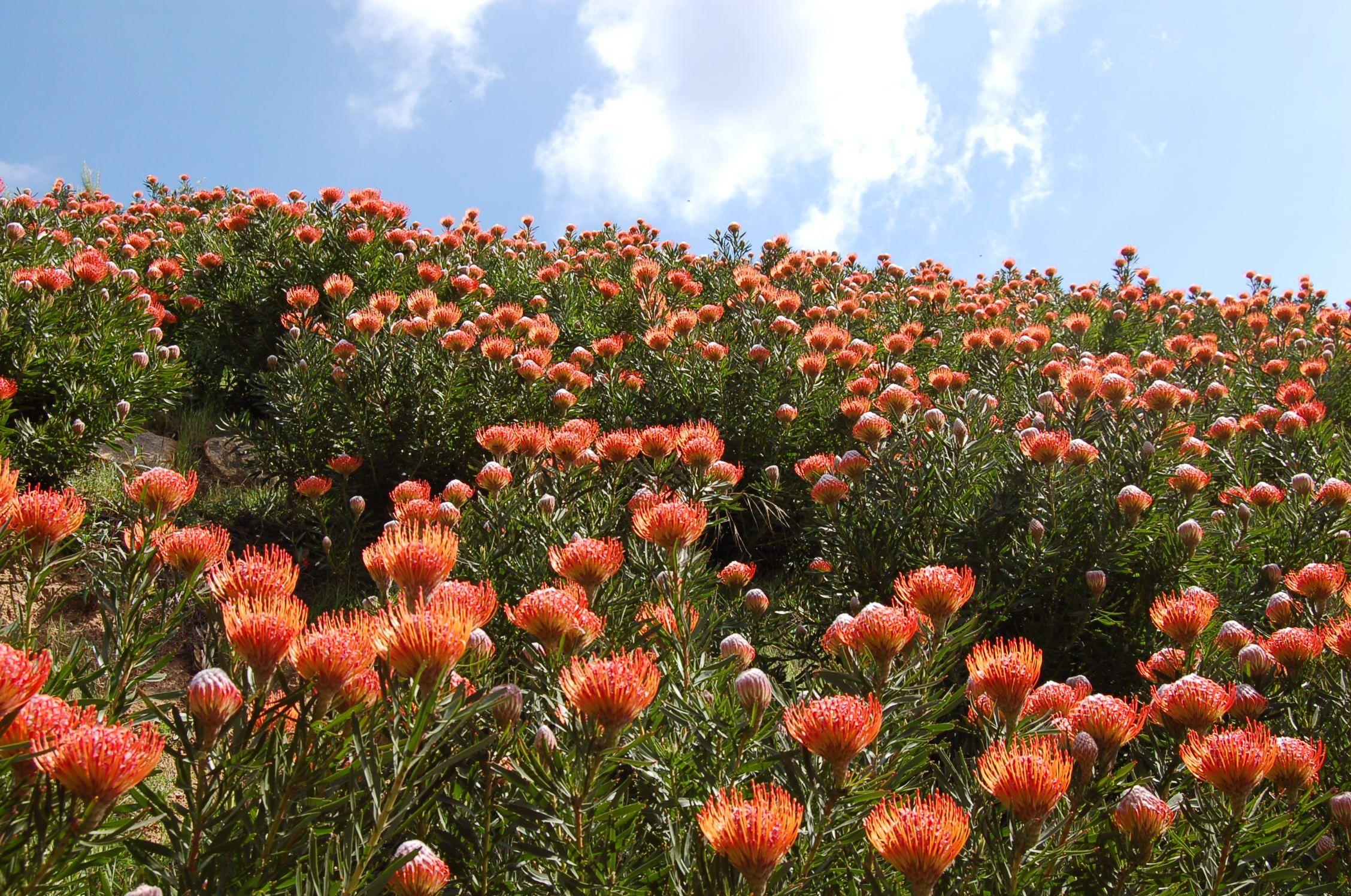 Resendiz Brothers Protea Growers Protea Plant Horticulture Protea