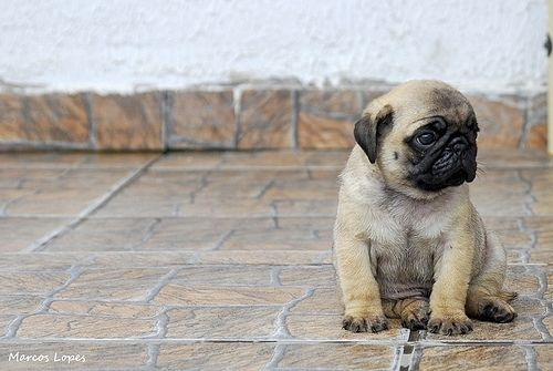I want to scoop up this pug puppy and take him home!