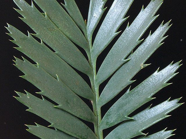 Encephalartos cerinus