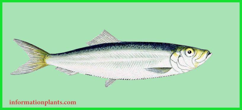 الصابوغة Sprattus قسم انواع الاسماك انواع الاسماك انواع الاسماك مع الصور معلوماتية نبات حيوان اسماك فوائد Fish Pet Animals Pets