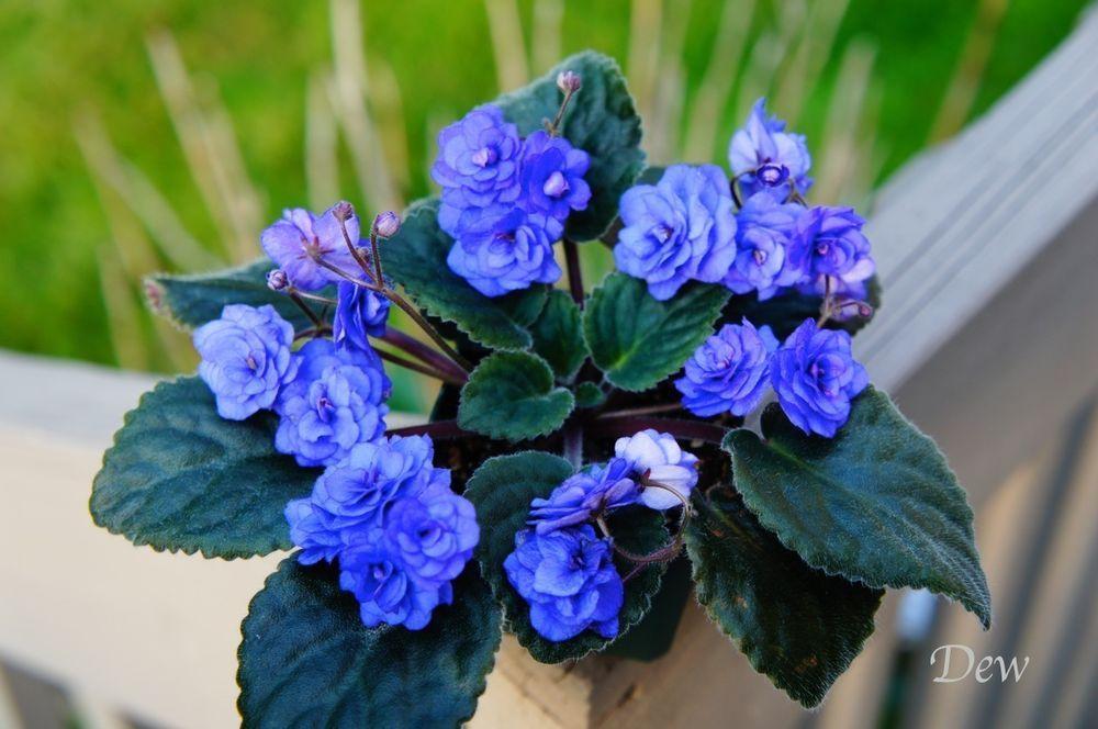 SPRING ROSE African Violet Starter plant