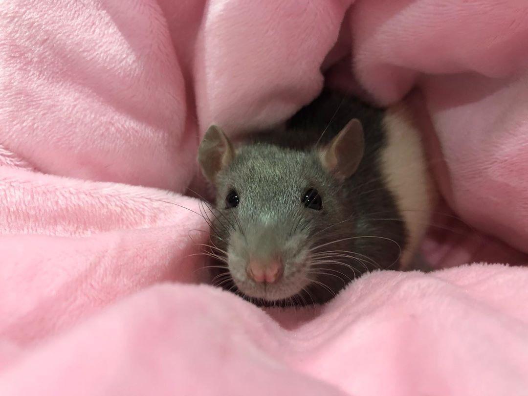 #rats #ratsofinstagram #pink #comfy #snuggles #cute #petsofinstagram