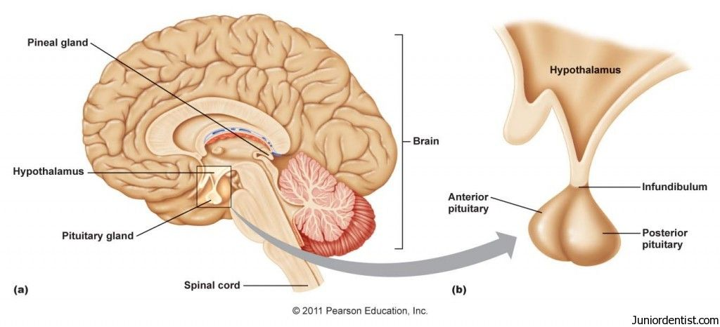 hormones released from pituitary gland and their functions | body, Sphenoid