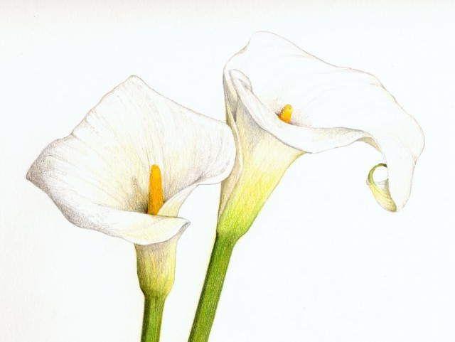 Calla Lilies Drawing Eggeth home reference bcalla lilyb