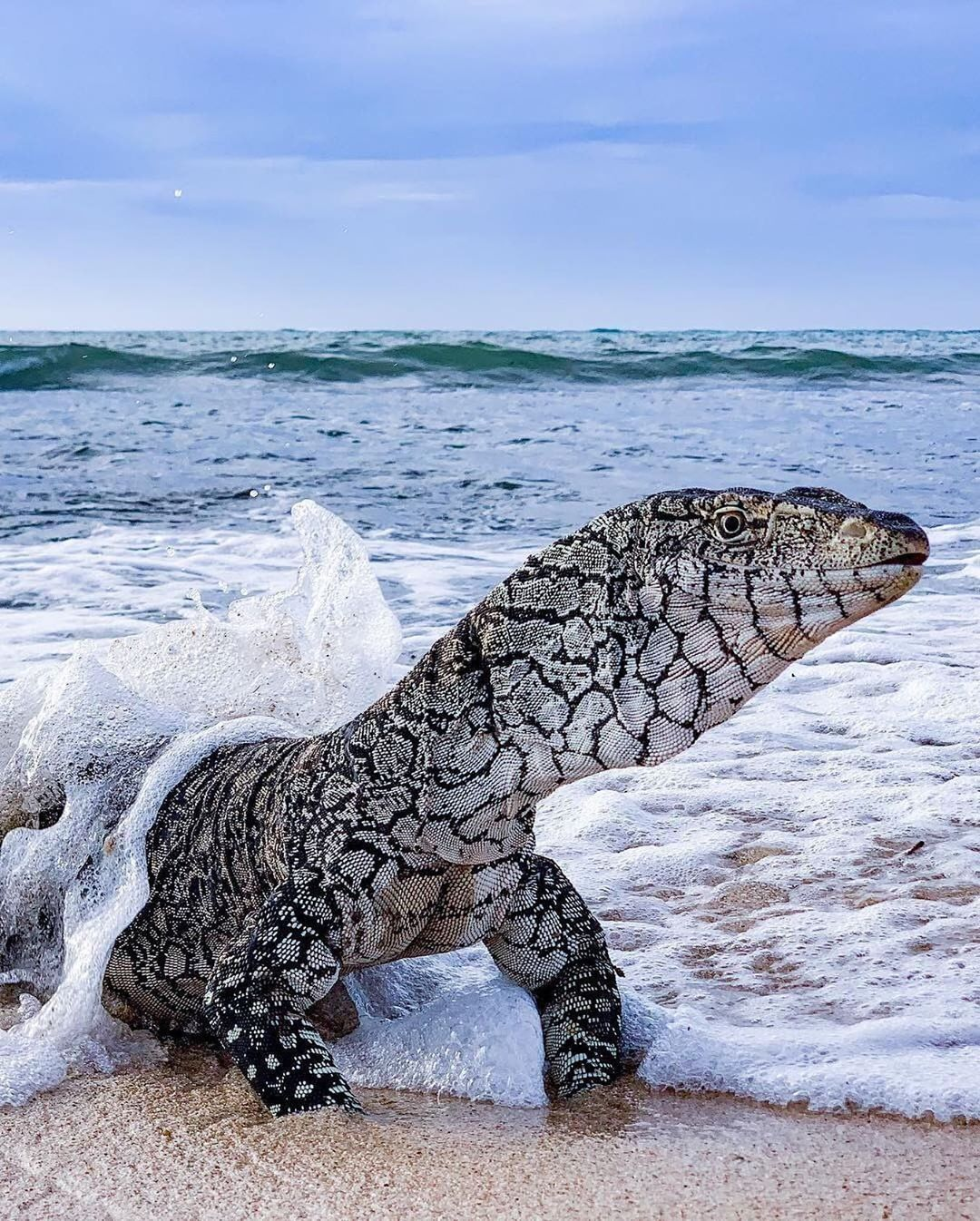 Nature On Instagram Can You Name This Lizard Exmouth Western Australia Photo By Adventuresofbluecrust Nature Monitor Lizard Animals Lizard