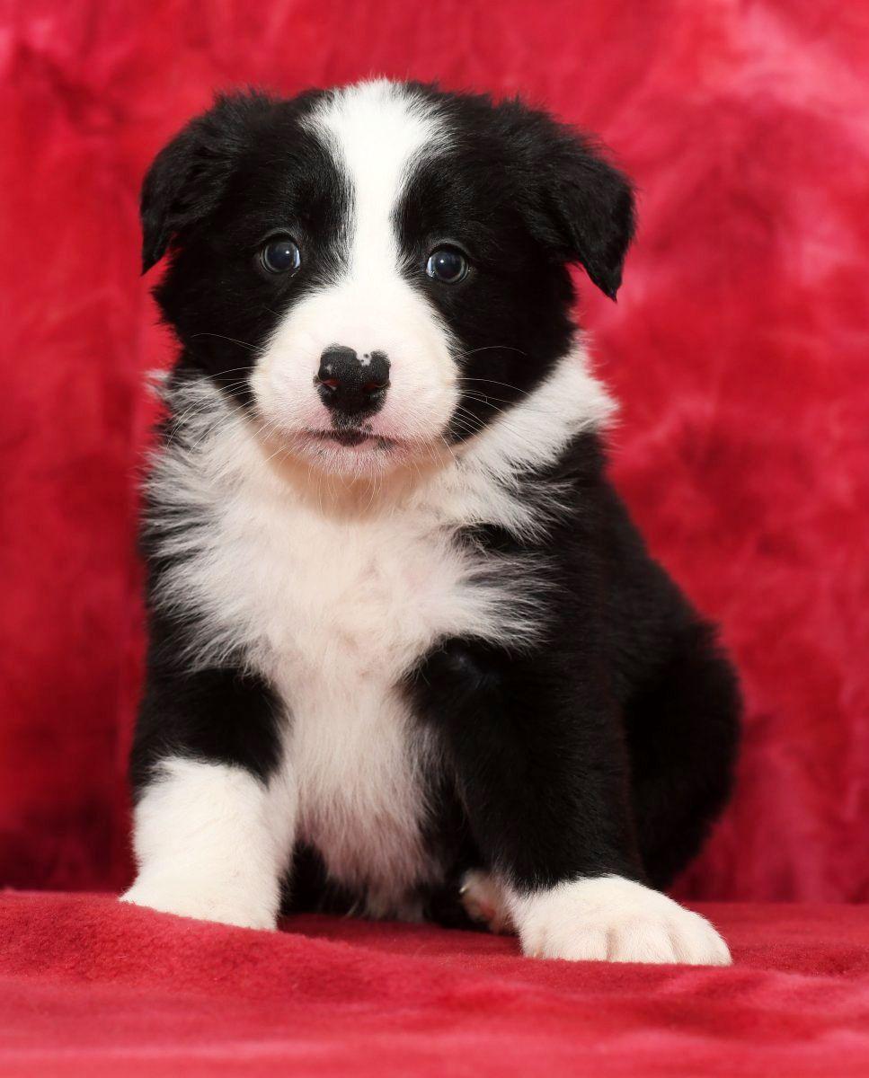 Smart Bordercollie In 2020 Puppy Adoption