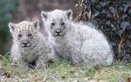 Rare white jaguar cubs